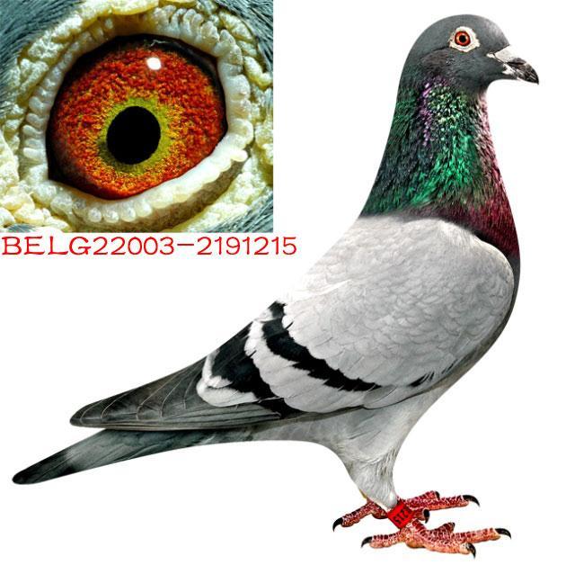 赛鸽公棚种鸽 中国信鸽信息网各地公棚图片