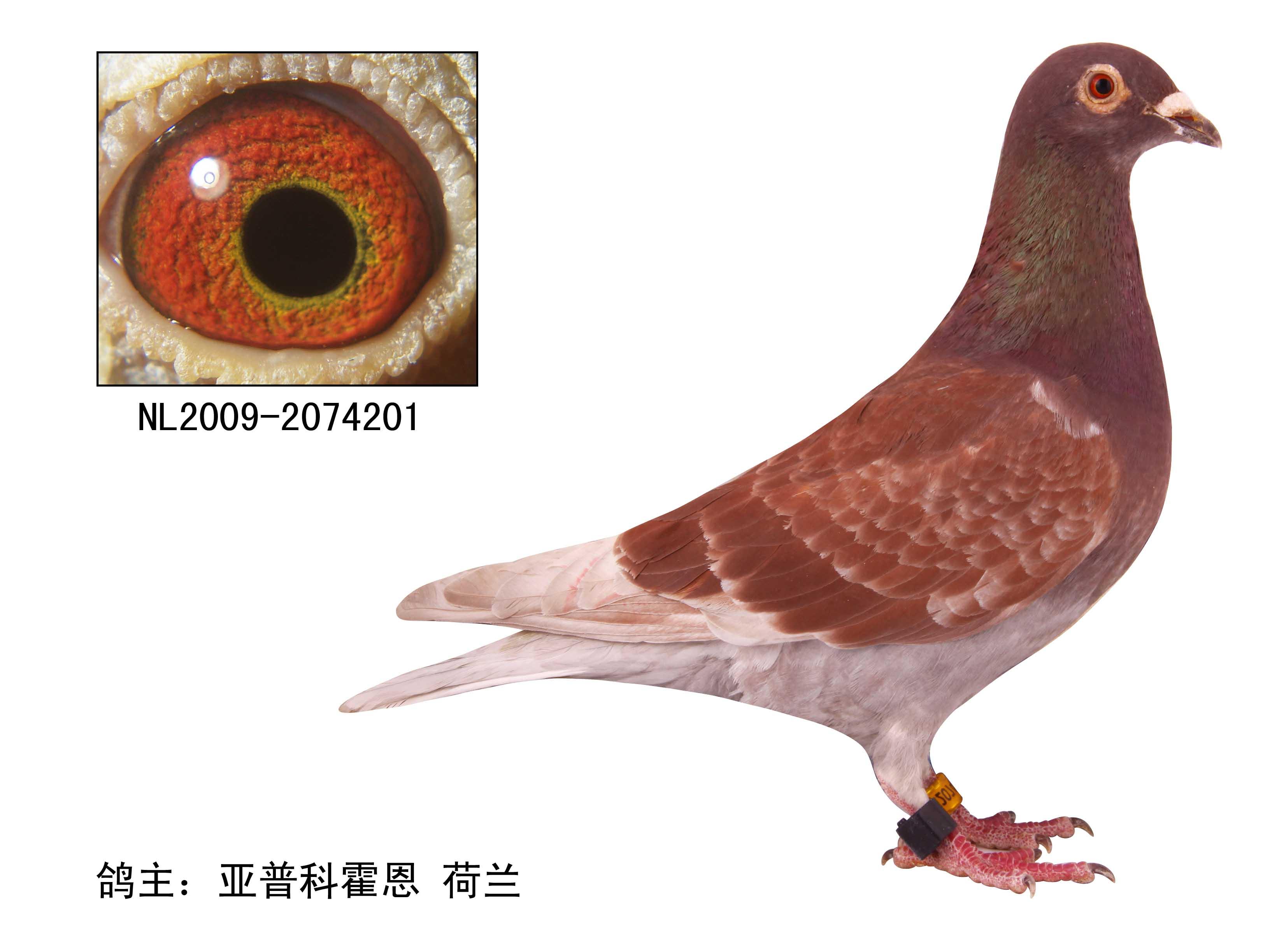 深雨点鸽子-南京东北人赛鸽公棚相册图片