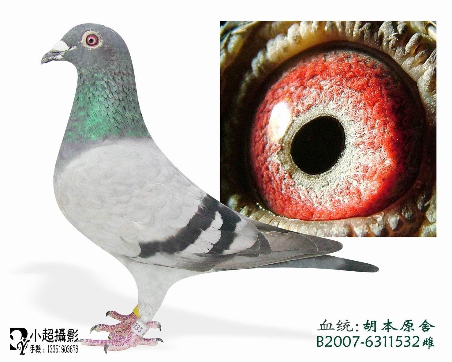 吉林省榆树市友祥名人赛鸽俱乐部相册--中国信鸽信息