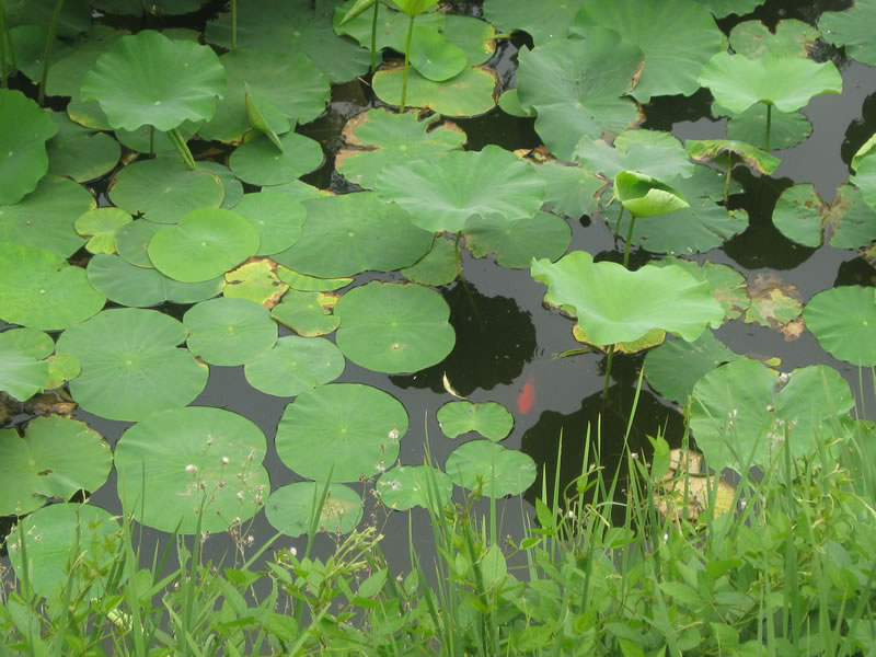 图片标题:荷花池里的金鱼