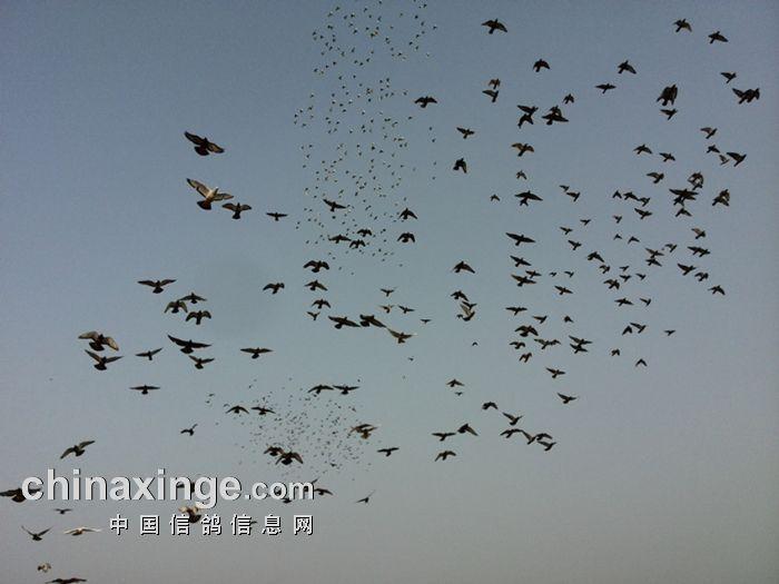 黑龙江冠宇国际赛鸽公棚相册