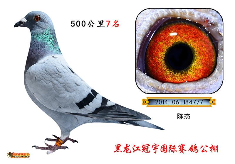 黑龙江冠宇国际赛鸽公棚