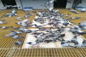 赛鸽进食照