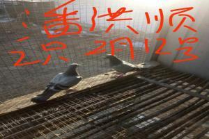 2018年2月收鸽图片