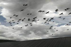开家幼鸽自由飞翔