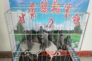 甘肃鸥翔赛鸽中心7月2日入棚照片