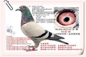 春辉公棚珍藏种鸽